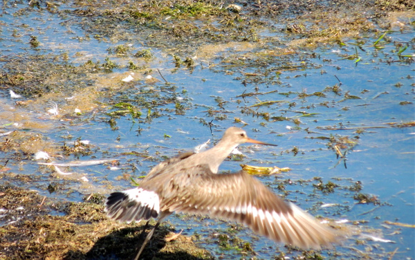 Hudsonian Godwit by WilliamYoung