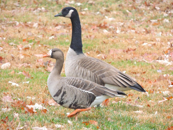 Greater White-fronted Goose by WilliamYoung