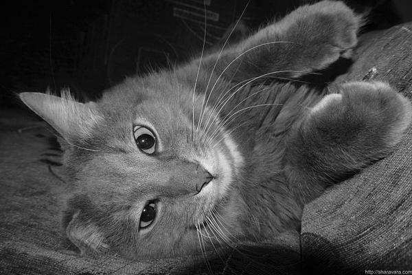 Cat-1 by Vitaliy Sharavara