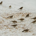 Snow Buntings, Horned Larks and Tree Sparrows