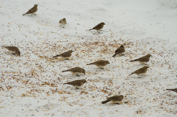 Snow Buntings, Horned Larks and Tree Sparrows by...