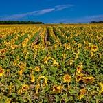 Sunflower Field in Traverse City, Michigan