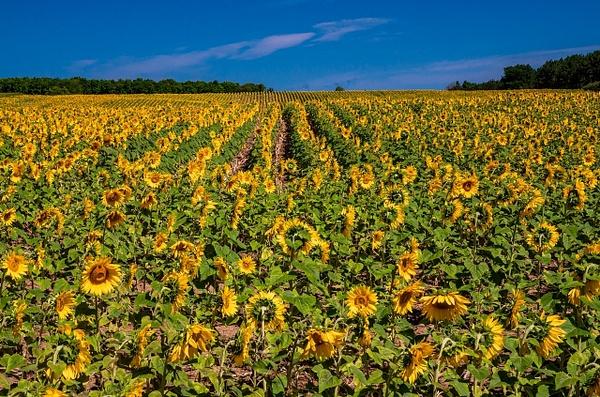 Sunflower Field in Traverse City, Michigan by...