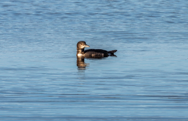 Juvenile Loon on Trout Lake in the Upper Peninsula of...