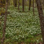 2016 Forest Covered in Trillium Flowers May