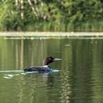 2017 Northern Loons on Lake Gitchegumee in Buckley, MI. in July