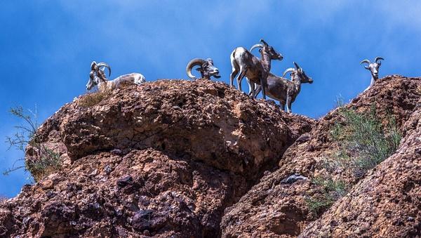 Big Horn Sheep by SDNowakowski