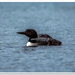 2021 New Baby Loon on Dayhuff Lake on May 31
