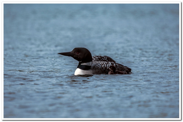2021 New Baby Loon on Dayhuff Lake on May 31 by...
