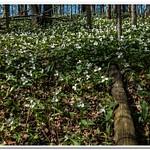 2021 Wild Trillium Flowers on the Forest Floor in Northern Michigan