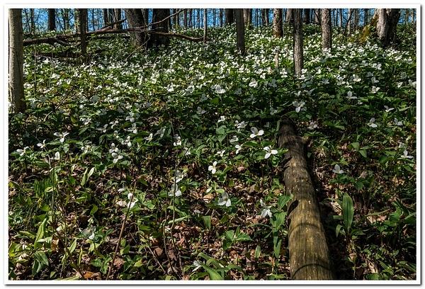 2021 Wild Trillium Flowers on the Forest Floor in...