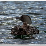 2021 New Baby Loons on Dayhuff Lake on June 1st