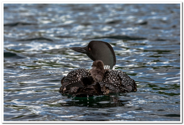 2021 New Baby Loons on Dayhuff Lake on June 1st by...
