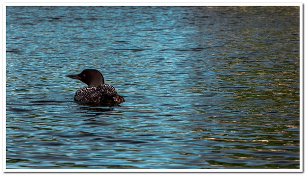 2021 Baby Loons on Dayhuff Lake in Boon, Michigan taken...