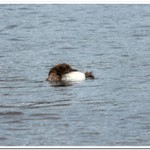 2021 Baby Loon Pics from Dayhuff Lake on June 20th.