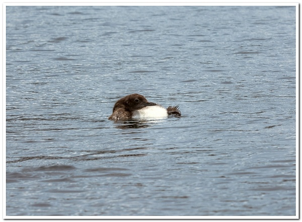 2021 Baby Loon Pics from Dayhuff Lake on June 20th. by...