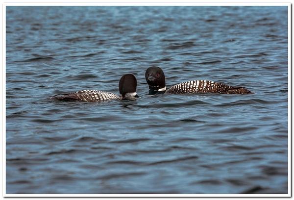 2021 Baby Loon on Dayhuff Lake July 1st by SDNowakowski