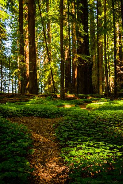 Light and Shadows In the Redwoods