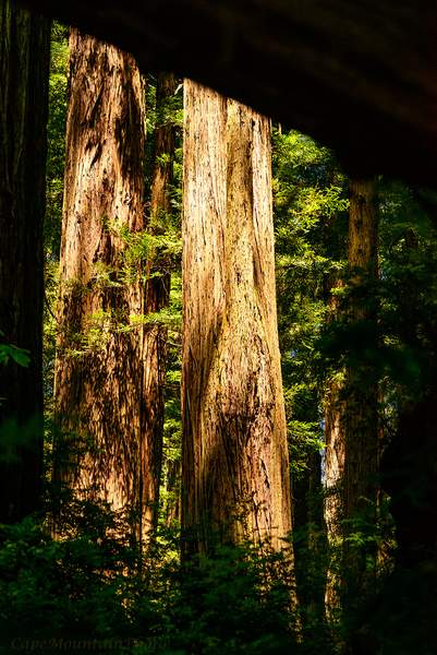 Redwoods Framed