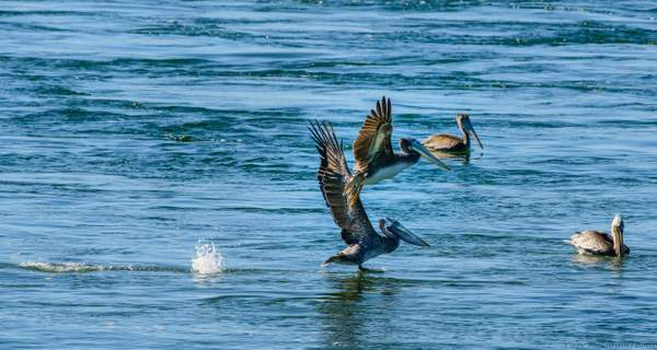Pelicans Feeding at Pacific City
