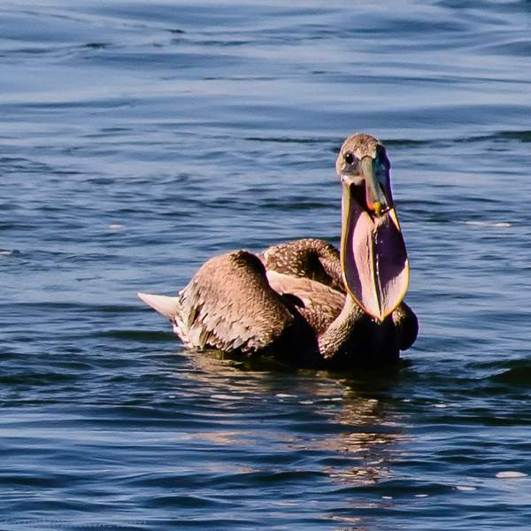 Pelican Stretching His Pouch