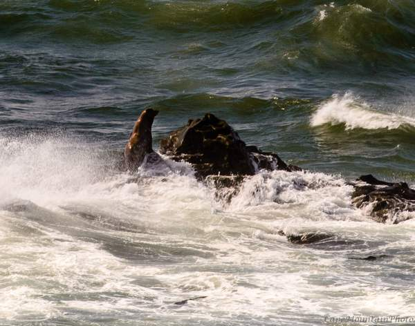 Sea Lion Sunning in the Surf