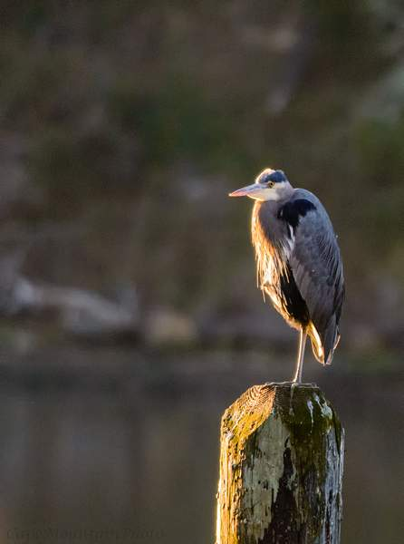 Heron Basking in the Afternoon Light