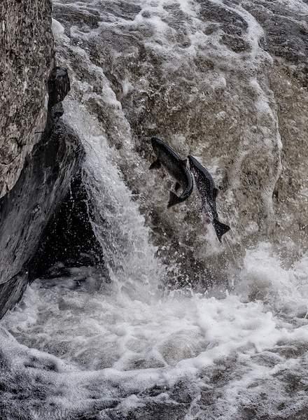Two Salmon Spawning