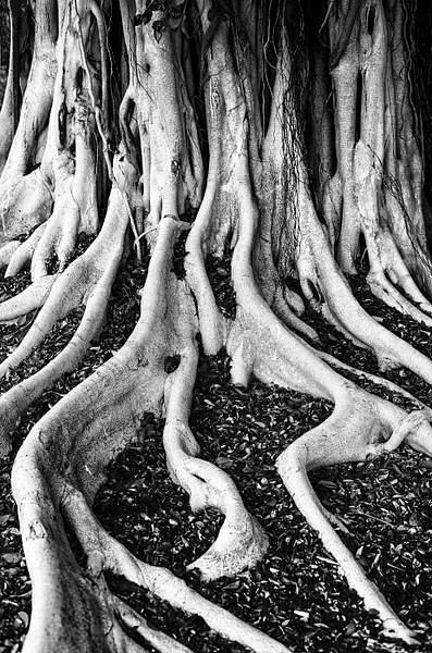 Bite Banyan Tree