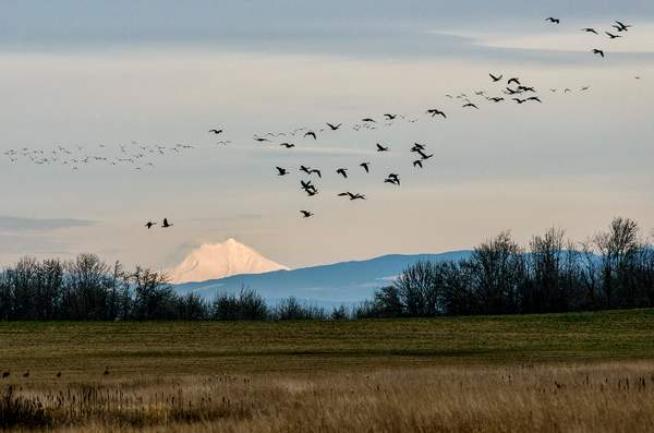 Birds Flying Past Mt Hood