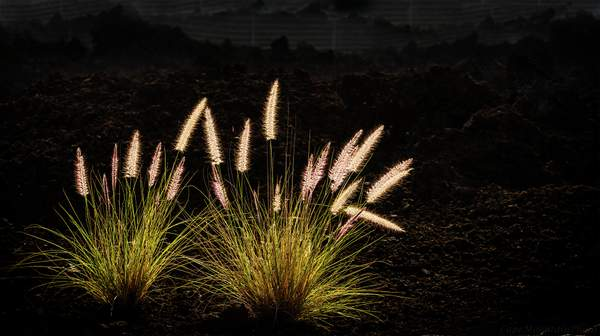 Back Lit Weeds In Lava Field