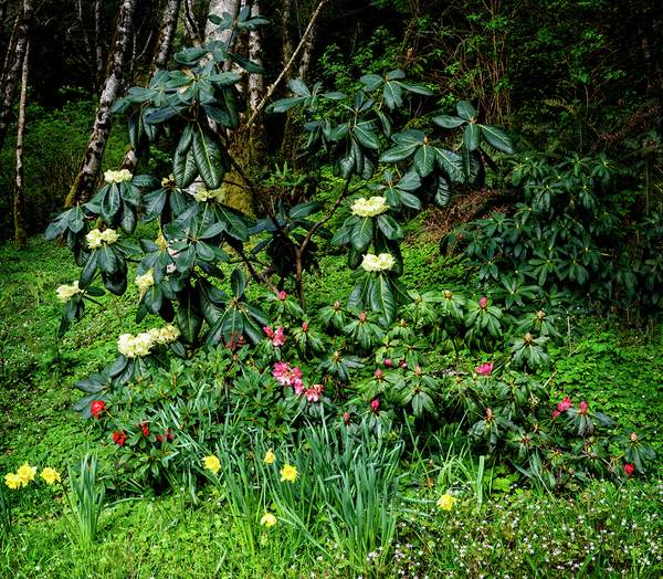 Himalayan Rhododendron and Friends (1 of 1)