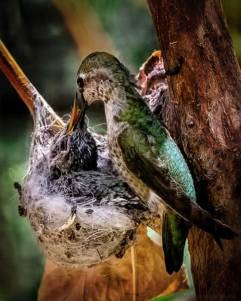 Mother Hummingbird Feeding Baby In Nest