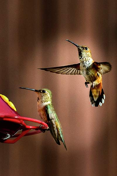 Hummers Lining Up