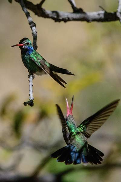 Arizona Birds (45 of 70)