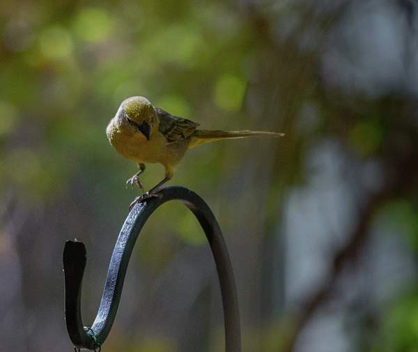 Arizona Birds (52 of 70)