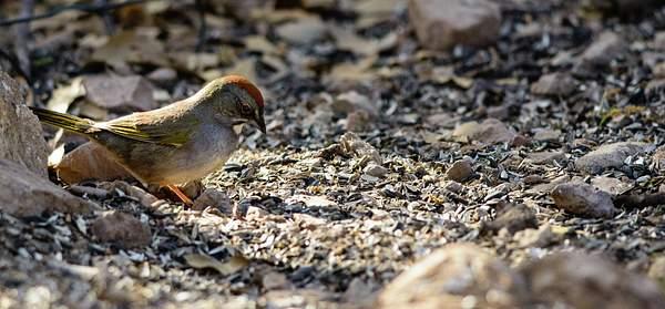 Arizona Birds (4 of 70)