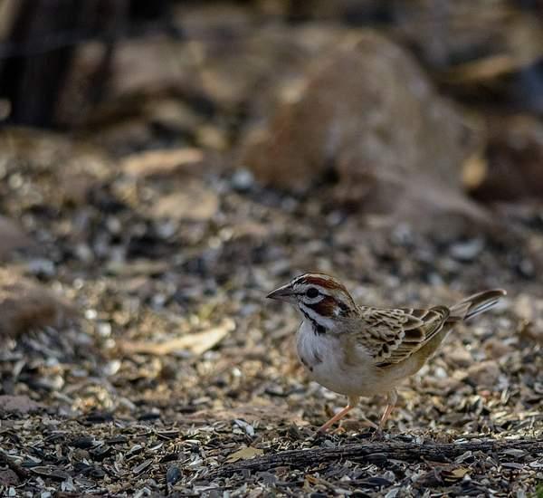 Arizona Birds (5 of 70)
