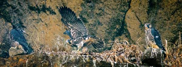 Baby  Peregrine  Falcons 1