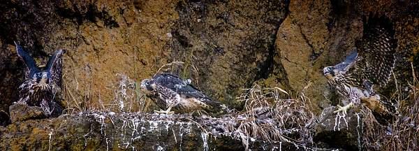 Baby Peregrine  Falcons 2