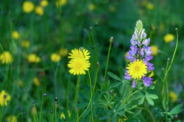 Lupine In Dandelion Meadow (1 of 1)
