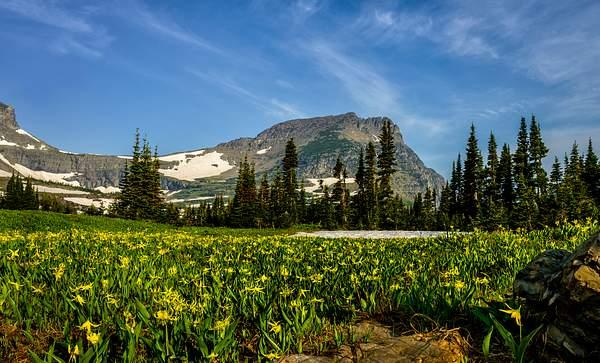 Avalanche Lilies At Logan Pass