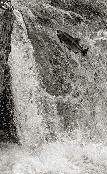 Salmon Leap 3 Black and White