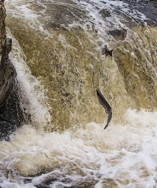 Double Salmon Leap Crop