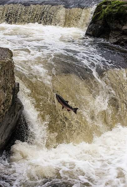 Salmon Leap 4