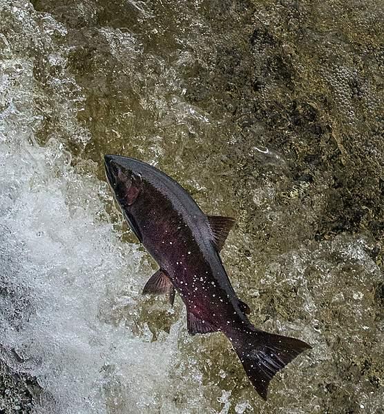 Salmon Leap 5
