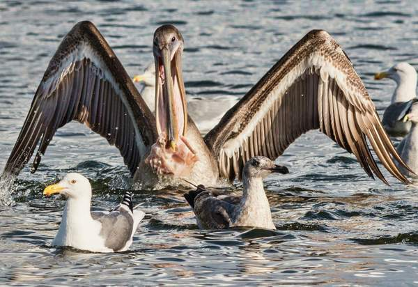Pelican Lunching With Entourage