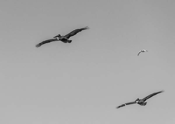 Pelicans-Flying-with-Seagull-In-Pursuit-In-Black-and-Whiit