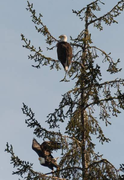 Two-Eagles-In-A-Tree-Over-Tahkenitch-