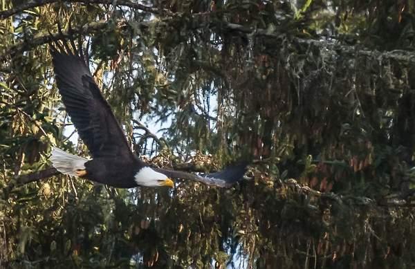 Bald-Eagle-Flying-Over-Tahkenitch